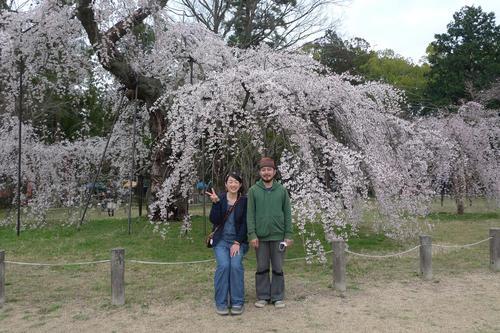 御所桜.JPG
